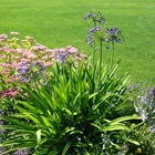 Lily of the Nile Agapanthus africanus Blue
