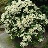 Lily of the valley bush Pieris taiwanensis