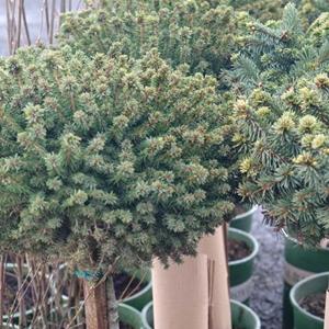 Picea Abies Little Gem