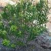 Marina Strawberry Tree Arbutus x