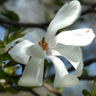 Merrill Magnolia Magnolia loebneri 'Merril' White