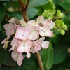 Mophead Hydrangea Hydrangea serrata