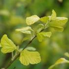 Ninebark 'Dart's Gold' Physocarpus opulifolius 'Dart's Gold' White