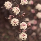 Ninebark 'Summer Wine' Physocarpus opulifolius 'Seward' Pink