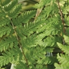 Northern Lady Fern Athyrium filix-femina