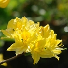 Northern Lights Deciduous Azalea Azalea 'Lemon Lights' Yellow