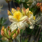 Northern Lights Deciduous Azalea Azalea 'Northern Hi-Lights' White