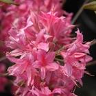 Northern Lights Deciduous Azalea Azalea 'Rosey Lights' Pink