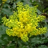 Oregon Grape Mahonia aquifolium Yellow