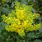 Oregon Grape Mahonia aquifolium Yellow