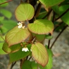 Ornamental Kiwi (Arctic Beauty Kiwi) Actinidia kolomikta White