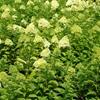 Panicle Hydrangea Hydrangea paniculata