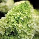 Panicle Hydrangea Hydrangea paniculata 'Limelight' White