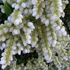 Pieris Pieris japonica 'Cavatine' White