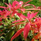 Pieris Pieris japonica 'Mountain Fire' White