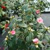 Pink Camellia Camellia