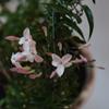 Pink Jasmine Jasminum polyanthum