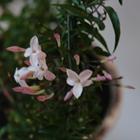 Pink Jasmine Jasminum polyanthum 'Pink' Pink
