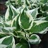 Plantain Lily Hosta