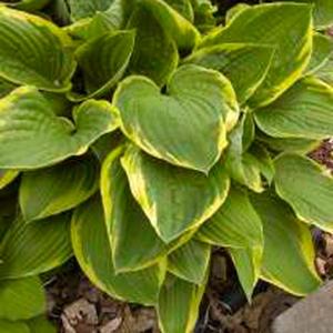 Hosta Fortunei Aureo Marginata Plantain Lily Lavender Blue