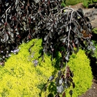 Purple Fountain Beech Fagus sylvatica 'Purple Fountain'