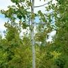 Quaking Aspen Populus tremuloides