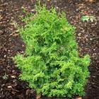 Rainbow Dwarf Hinoki Cypress Chamaecyparis obtusa 'Rainbow'