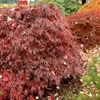 Red Weeping Laceleaf Japanese Maple Acer palmatum dissectum