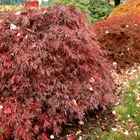 Red Weeping Laceleaf Japanese Maple Acer palmatum dissectum 'Crimson Queen'