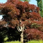 Red Weeping Laceleaf Japanese Maple Acer palmatum dissectum 'Ever Red'