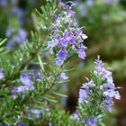 Rosemary Rosmarinus officinalis 'Arp' Lavender/Blue