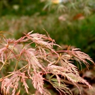 Seiryu Green Laceleaf Japanese Maple Acer palmatum dissectum 'Seiryu'