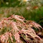 Seiryu Green Laceleaf Japanese Maple Acer palmatum dissectum 'Seiryu'