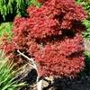 Shaina Japanese Maple Acer palmatum