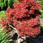 Shaina Japanese Maple Acer palmatum 'Shaina'