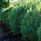 Shamrock Inkberry Holly Ilex glabra 'Shamrock'