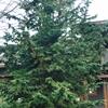 Slender Hinoki Cypress Chamaecyparis obtusa