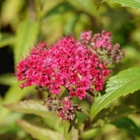 Spiraea 'Neon Flash' Spiraea japonica 'Neon Flash' Pink