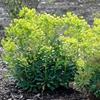 Spurge Euphorbia