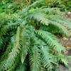 Sword Fern Polystichum munitum