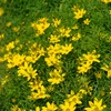 Threadleaf Tickseed Coreopsis verticillata