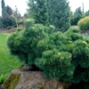 Thunderhead Dwarf Japanese Black Pine Pinus thunbergii