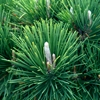 Thunderhead Dwarf Japanese Black Pine Pinus thunbergii 
