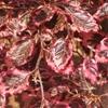 Tricolor Beech Fagus sylvatica