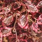 Tricolor Beech Fagus sylvatica 'Roseomarginata'