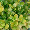 True Dwarf English Boxwood Buxus sempervirens