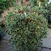 Variegated English Holly Ilex aquifolium