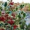 Variegated English Holly Ilex aquifolium