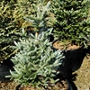 Variegated Korean Fir Abies koreana