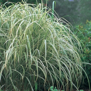 Miscanthus sinensis 39 variegatus 39 variegated maiden grass white for Variegated ornamental grass